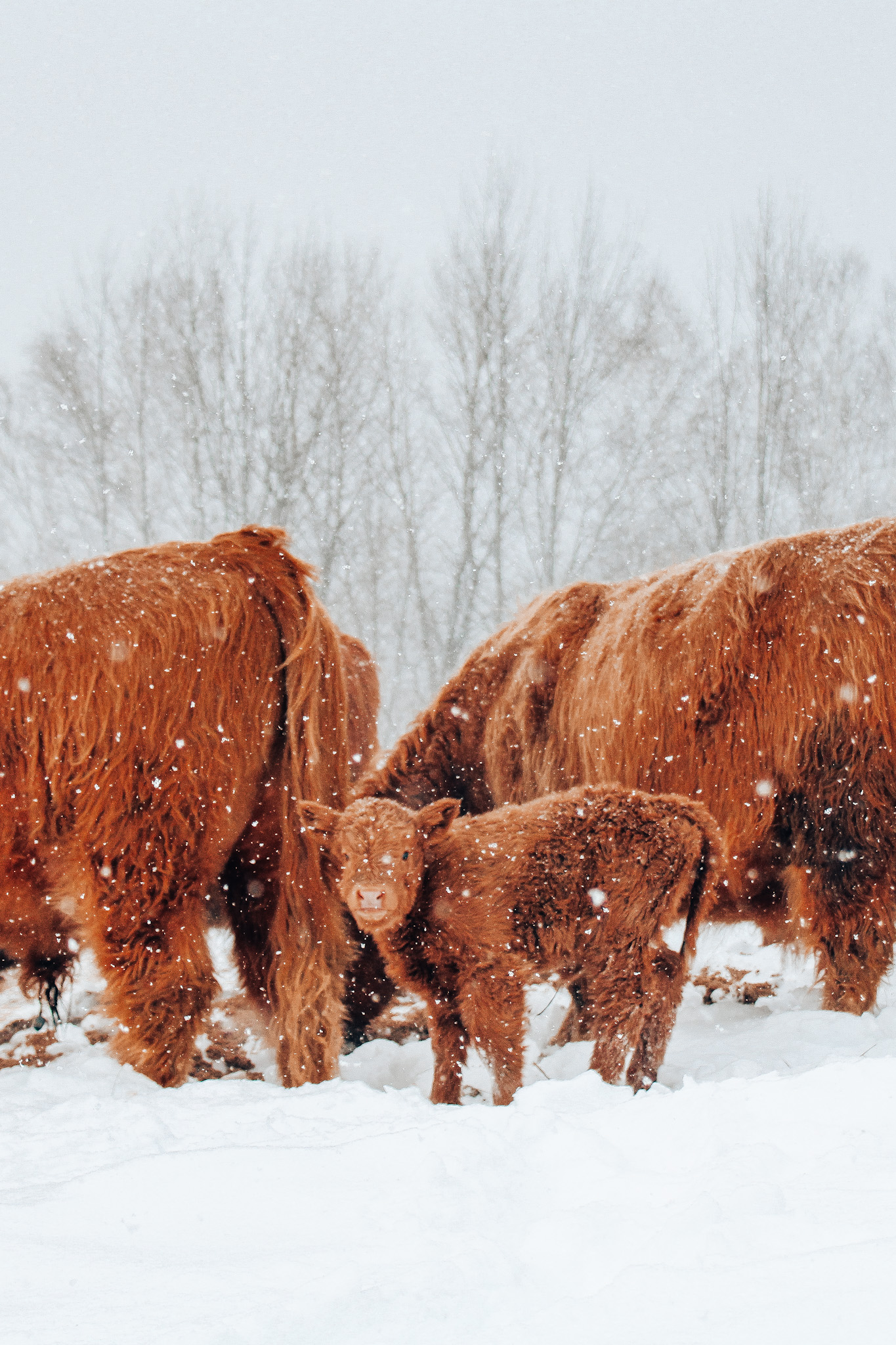 Vertical photo of highland cows in snow