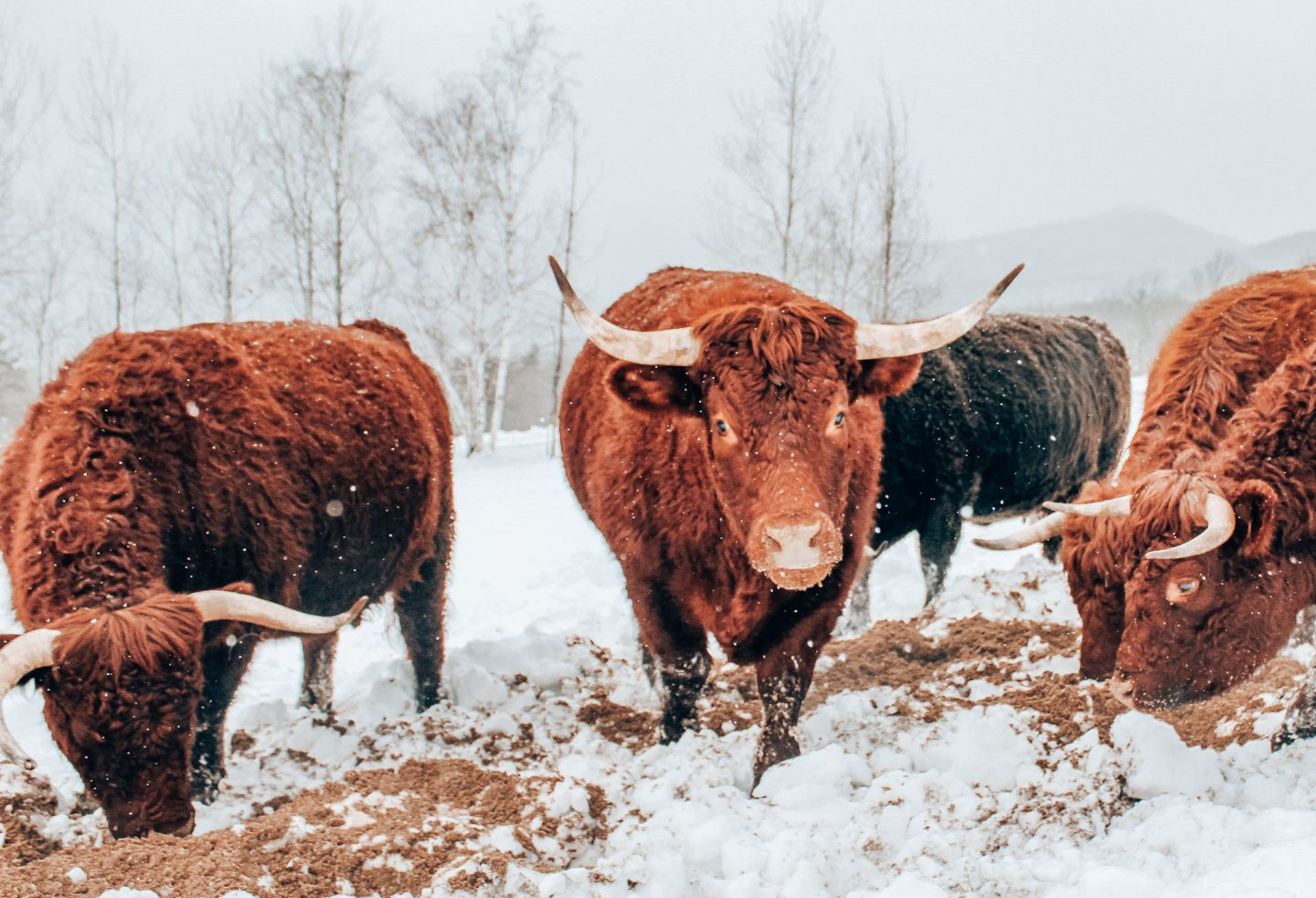 Snowy photo of cows