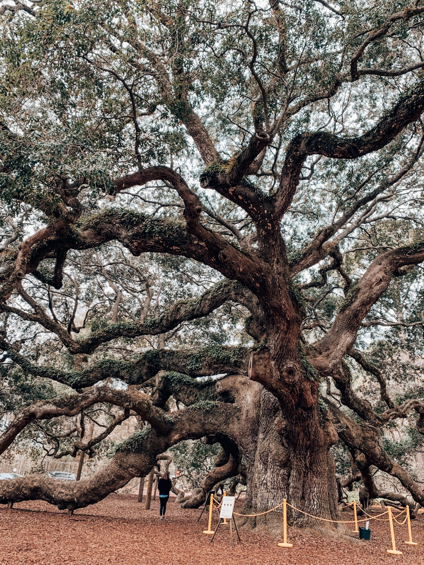Angel Oak Tree in Charleston, SC